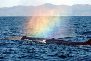 blaasgat walvis