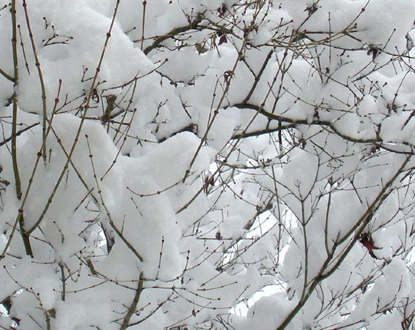esdoorn met sneeuw