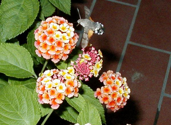 kolibrivlinder2