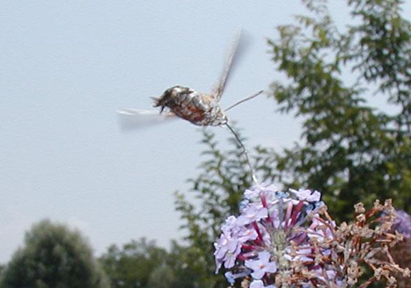 kolibrivlinder3