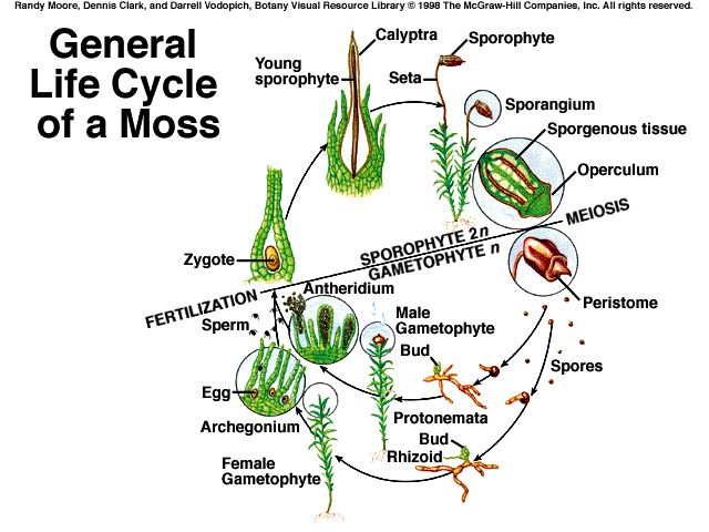 Moss Plant Labeled