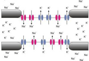 natrium kanaal