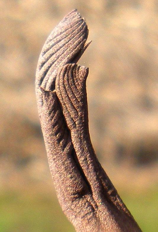 pterocarya