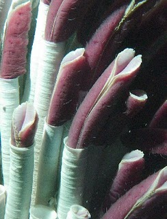 giant tube worm