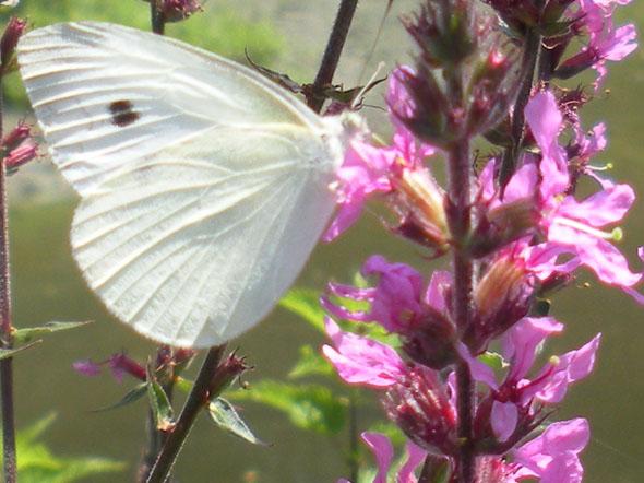 vlinderlinks