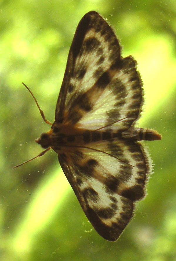 vlindermotje