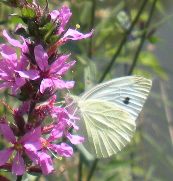 vlinderrechts