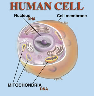 menselijke cel