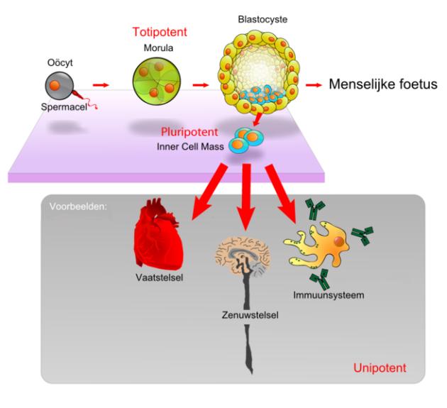 van zygote tot blastocyst