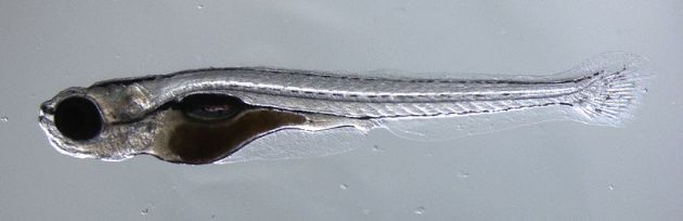 800px-zebrafish95-300