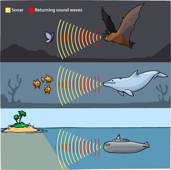 Bats-and-dolphins-have-echolocation-capabilities