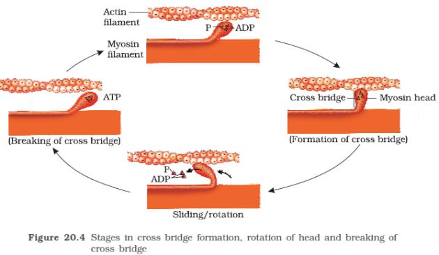 myosine actine