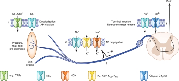 Digital demons langs pijn-registrerende periferische neurons Uit Nature