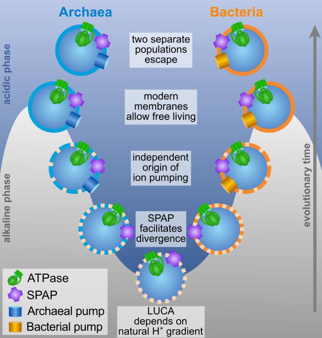 Rechts de evolutie van bacteriën en links de evolutie van Archaea vanaf LUCA