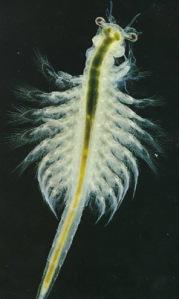 artemia copy