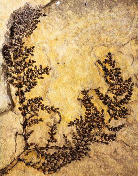 Een groot specimen van Montsechia Image credit: David Dilcher
