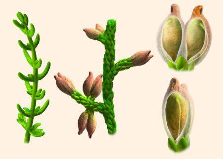 Montsechia, dat zowel lange als kortbladerige vormen kent, draagt een enkel zaad, dat ondersteboven gedragen wordt. Image credit: Oscar Sanisidro