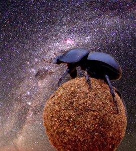 Mestkevers oriënteren zich gedurende nachten zonder maanlicht op de Melkweg