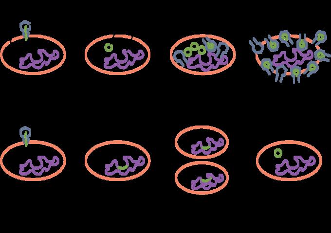 lytische cyclus en lysogene cyclus